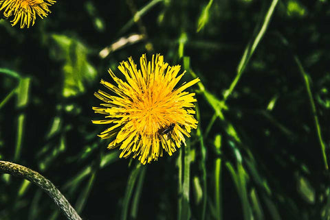 Superfood Spotlight: Dandelions