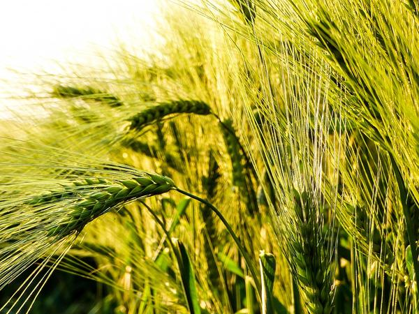 Lose the Wheat, Lose the Joint Pain: The Hidden Grief of Wheat