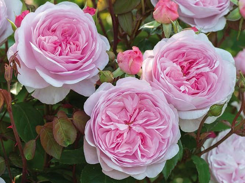 David Austin English Rose from Walkers Nursery