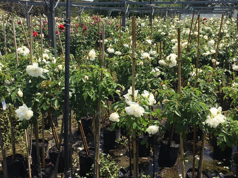 Walkers Rose Nursery - 80cm Standards