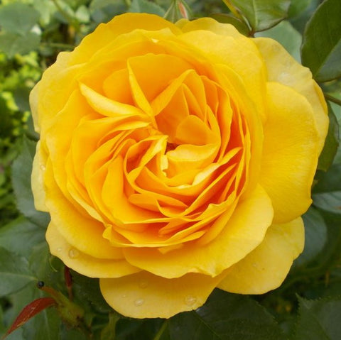 Absolutely Fabulous 80cm Standard Rose