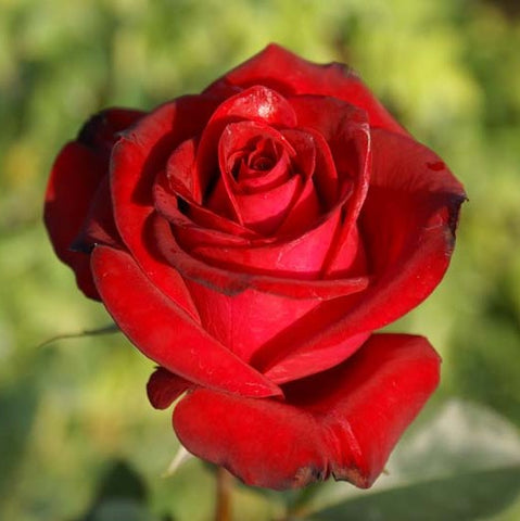 Ace of Hearts Red Rose