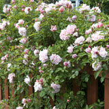 Albertine Rambler Rose Bush