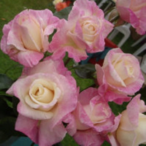 Attfield's Babe pink rose