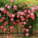Bantry Bay climbing rose bush