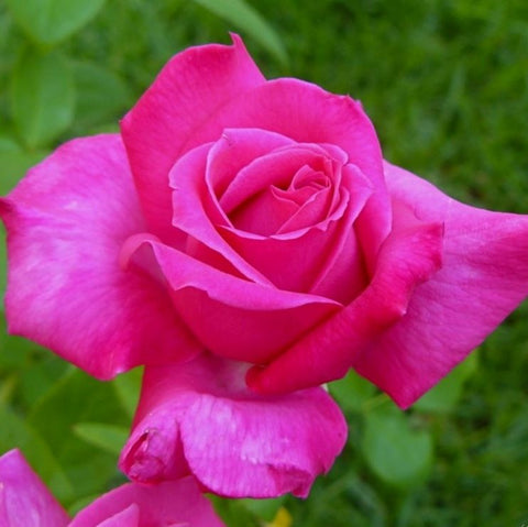 Best Friend pink rose