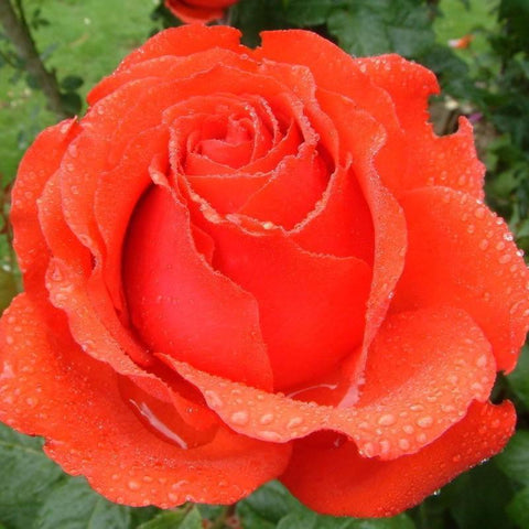 Big Daddy orange rose