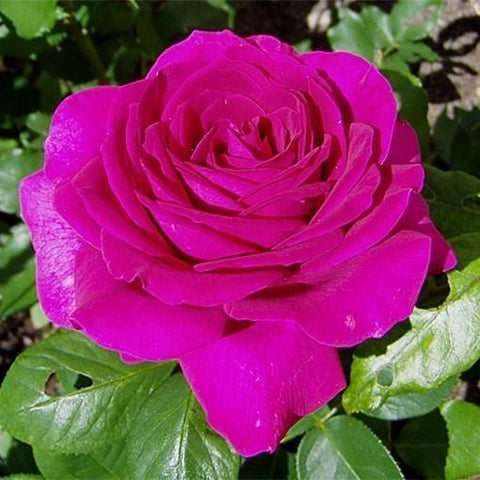 Big Purple rose