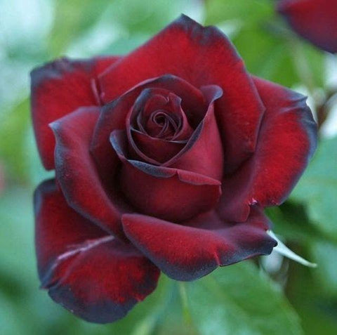 Black Beauty rose
