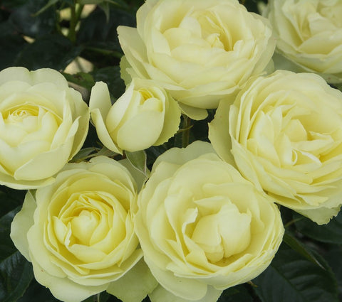 'Lemon 'n' Lime' Bush Rose