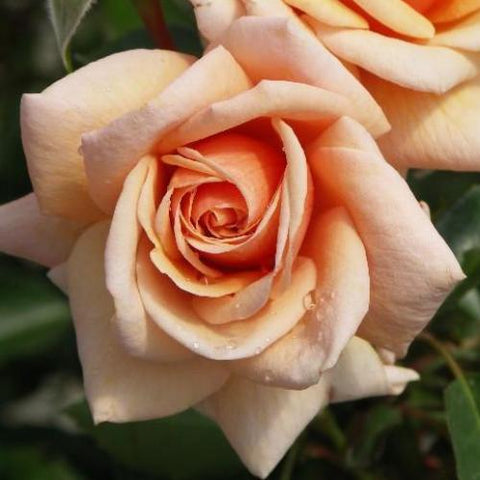 rob_somerfield_roses_scent_to_remember_S2G7E11DJLDX_S2NOHQA4IDPS_S2Y8TM5QJWET.jpg