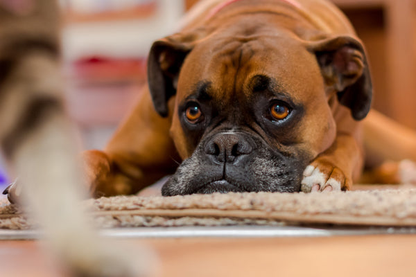 fur and collar indestructible dog toys for your boxer