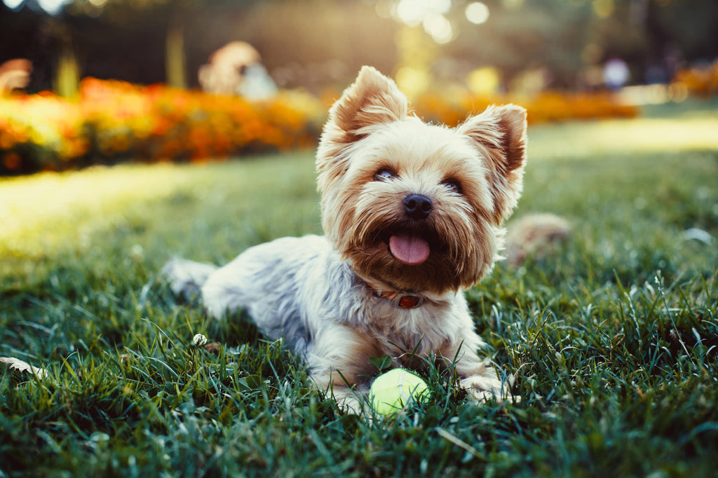 5 best small hypoallergenic dogs that are perfect fur collar