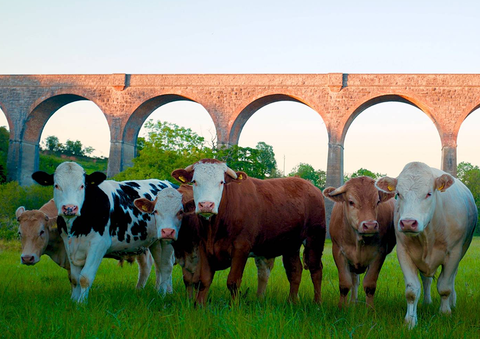 Curious Cows at Tassagh Viaduct