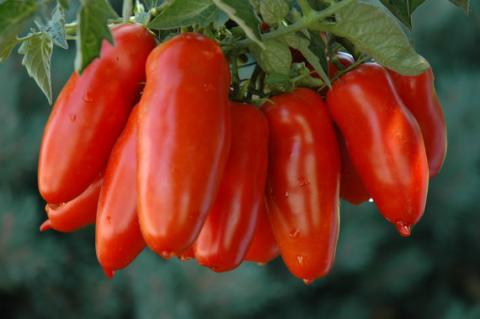 Terlato Kitchen uses only San Marzano Tomatoes