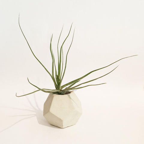 Mini Dekka Air Plant Holder