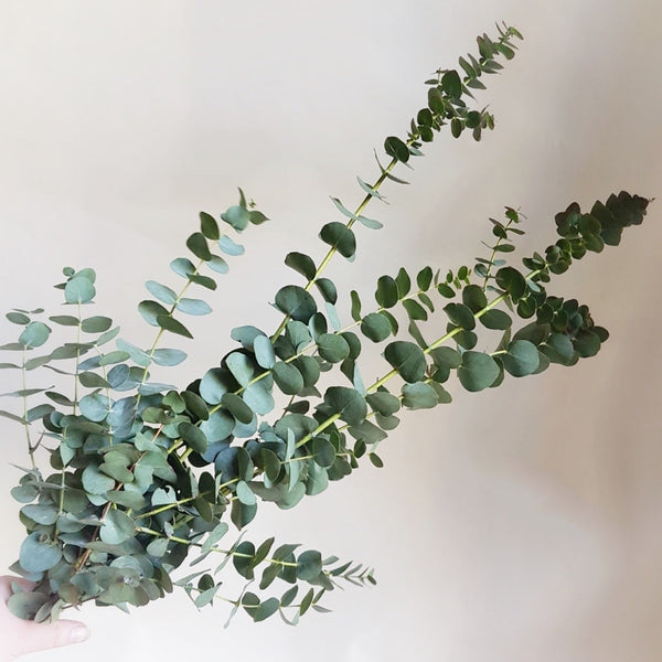 Bunch of eucalyptus - available week beginning 22/2