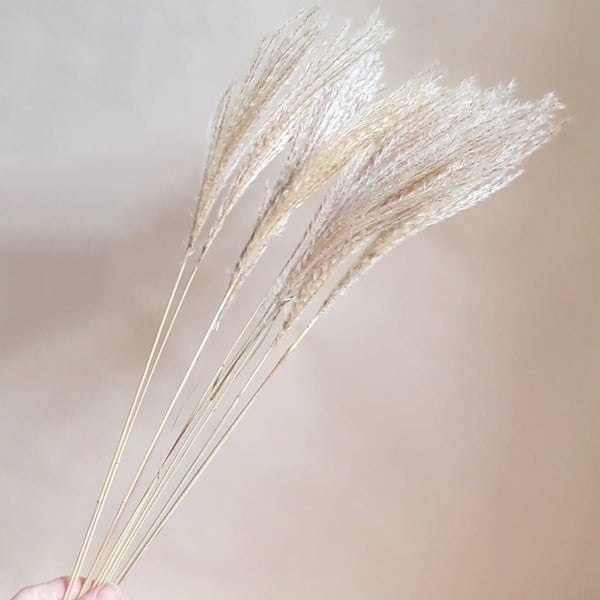 Dried flowers - bunch of miscanthus