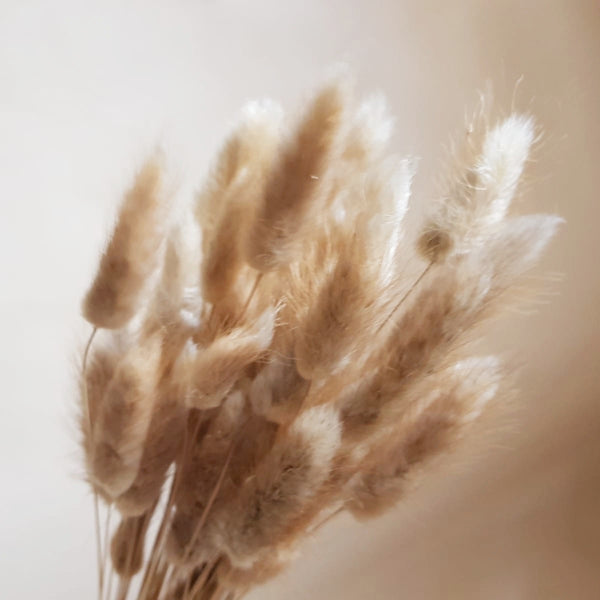 Dried flowers - bunch of Lagurus (bunny tails)