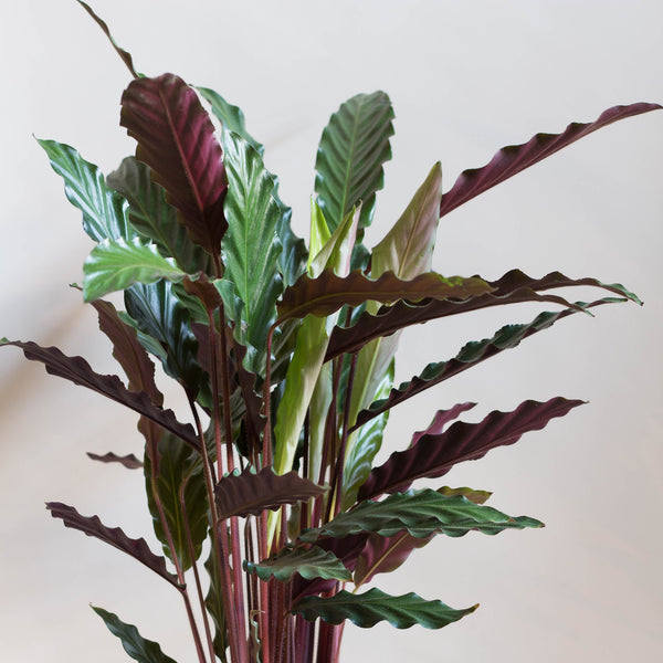 A Calathea Plant - Rose and Ammi Flowers Edinburgh florist