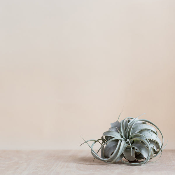 A  Large Airplant - Rose and Ammi Flowers Edinburgh florist