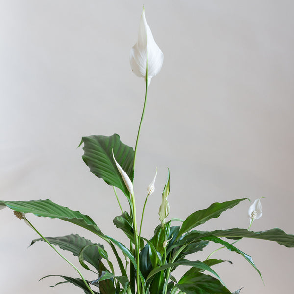 A Peace Lily Plant - Rose and Ammi Flowers Edinburgh florist