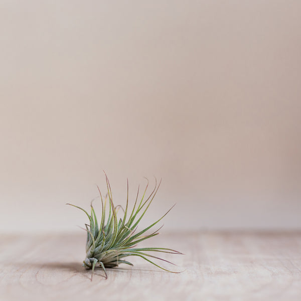A Small Airplant - Rose and Ammi Flowers Edinburgh florist