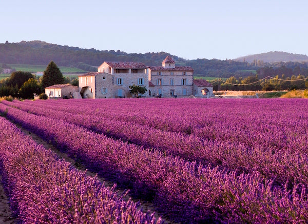 Lovely Lavender Field