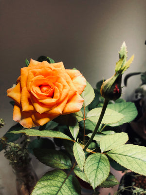 Growing Roses Indoors