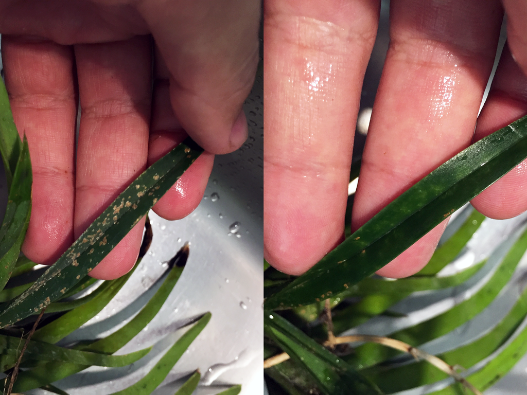 Scale insects, before and after.