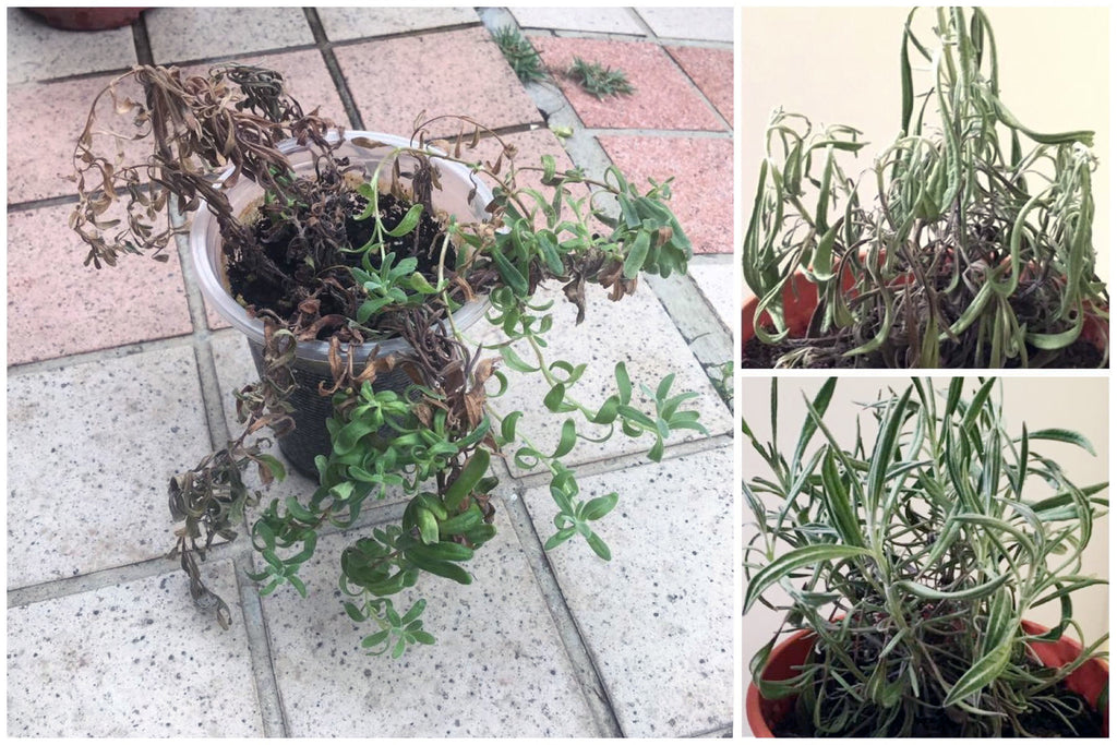 1 Growing Lavender Indoors And Other Herbs Too Bola Bola