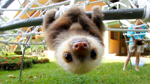 http://animalist.com/animalisttoo/what-does-a-sloth-say