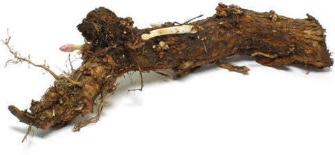Hop Rhizomes - Brewers Gold - Noble Grape