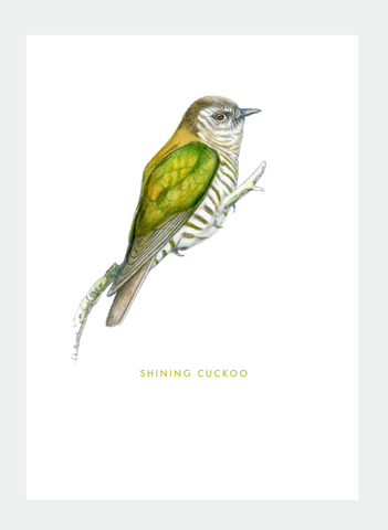 DB41 Shining Cuckoo (Pack of 6)