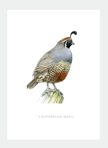 DB42 Californian Quail (Pack of 6)