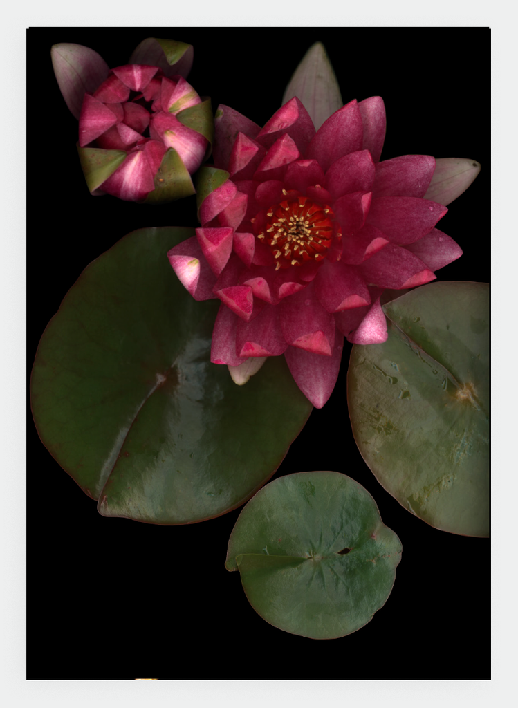 LH29 Waterlily | Lynn Hurst