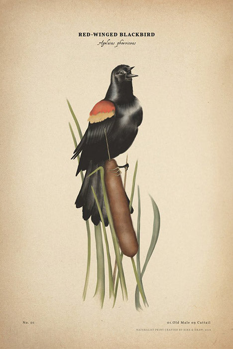 Red-winged Blackbird print