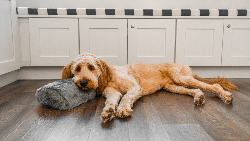 goldendoodle dog resting head on bolster pillow