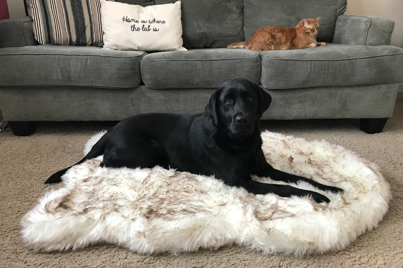 Black Labrador Retriever resting on White Luxury Faux Fur Bed