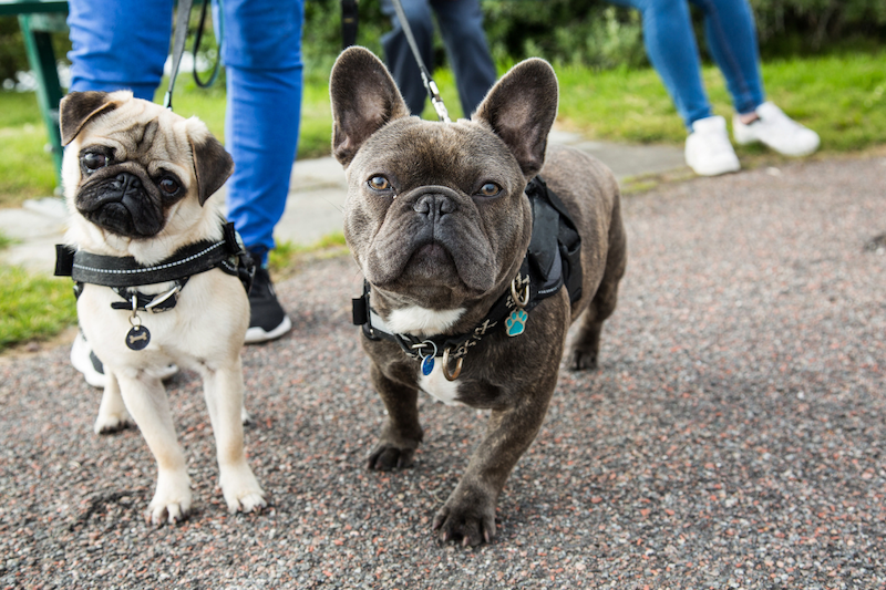 A french bulldog and a pug being walked by their owners who have cited increases in their mental wellness because of their dogs.