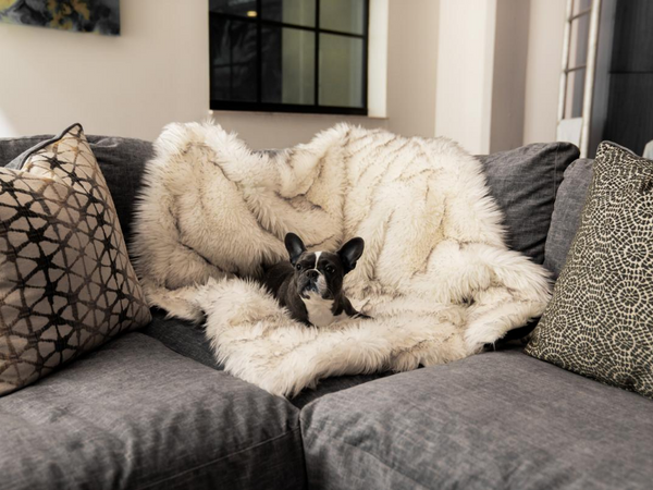 French bulldog sitting on couch covered by a stylish throw blanket designed to compliment a beautiful pet friendly home.