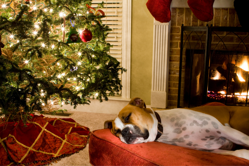 Dog resting on bed by Christmas tree