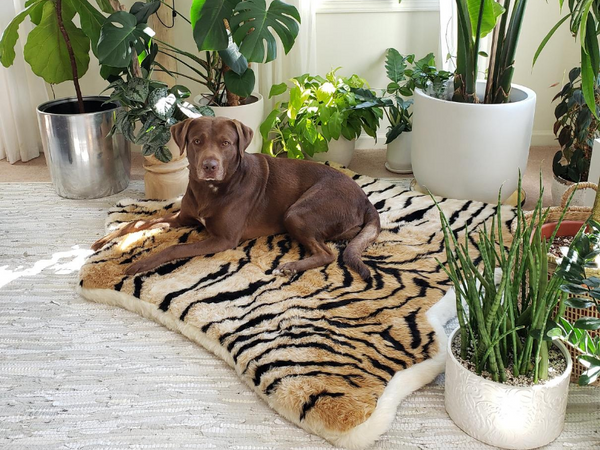 Chocolate lab lays down on an orthopedic dog bed surrounded by plants that are perfect for a pet friendly home.
