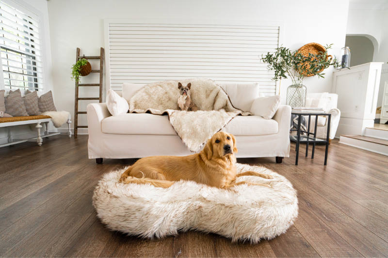 Golden Retriever on PupCloud Ultra Thick Bed and French Bulldog on Blanket