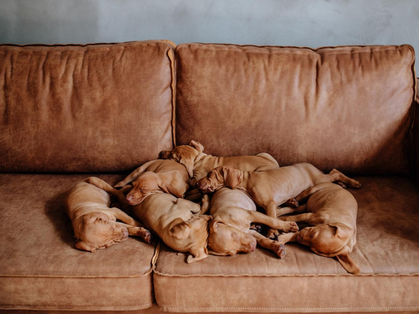 Puppies pile in a leather couch matching the color of their fur, enjoying some comfort on a pet friendly couch in a pet friendly home.