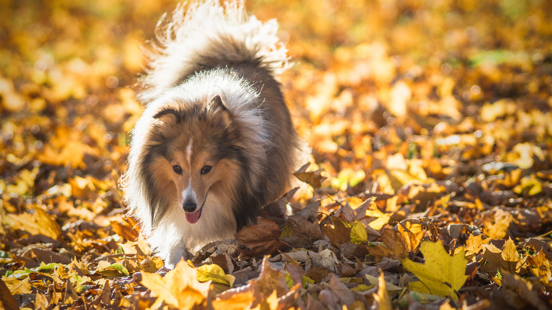 dog in autumn leaves
