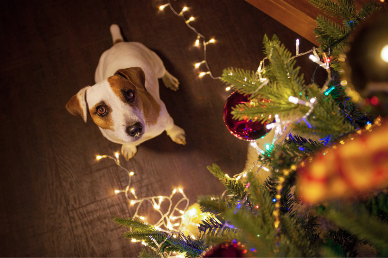 Jack Russel Terrier in a Christmas setting with festive lights