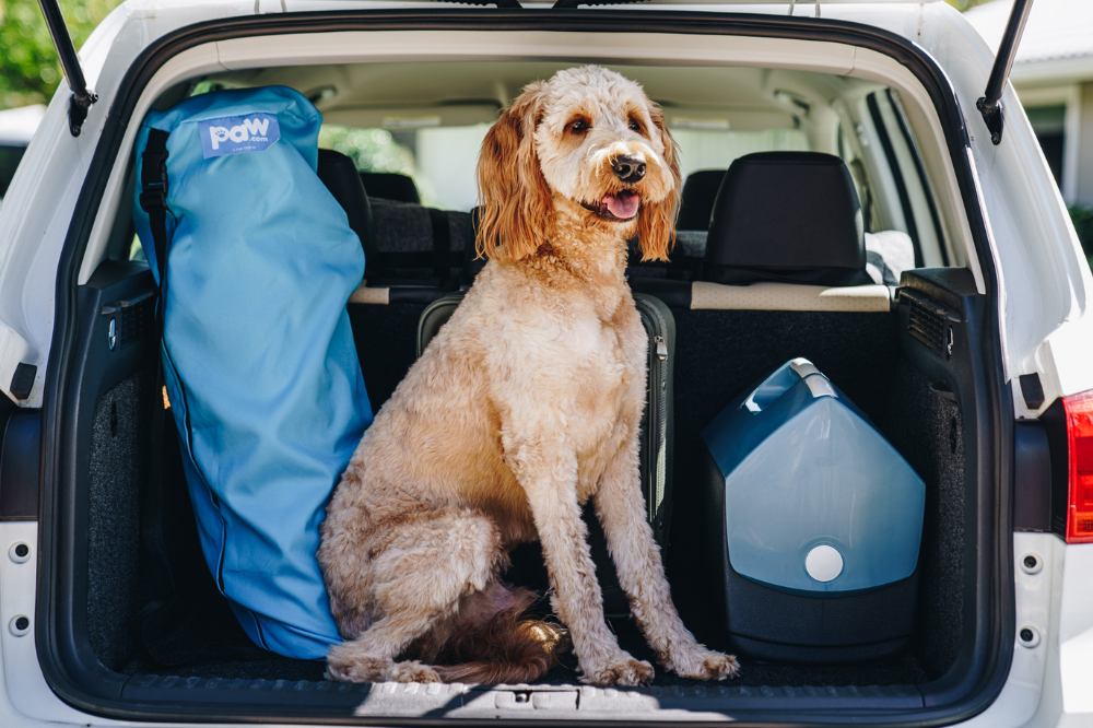 A Goldendoodle sits in the hatch of an SUV with their dog bed in tow waiting for their owner to arrive