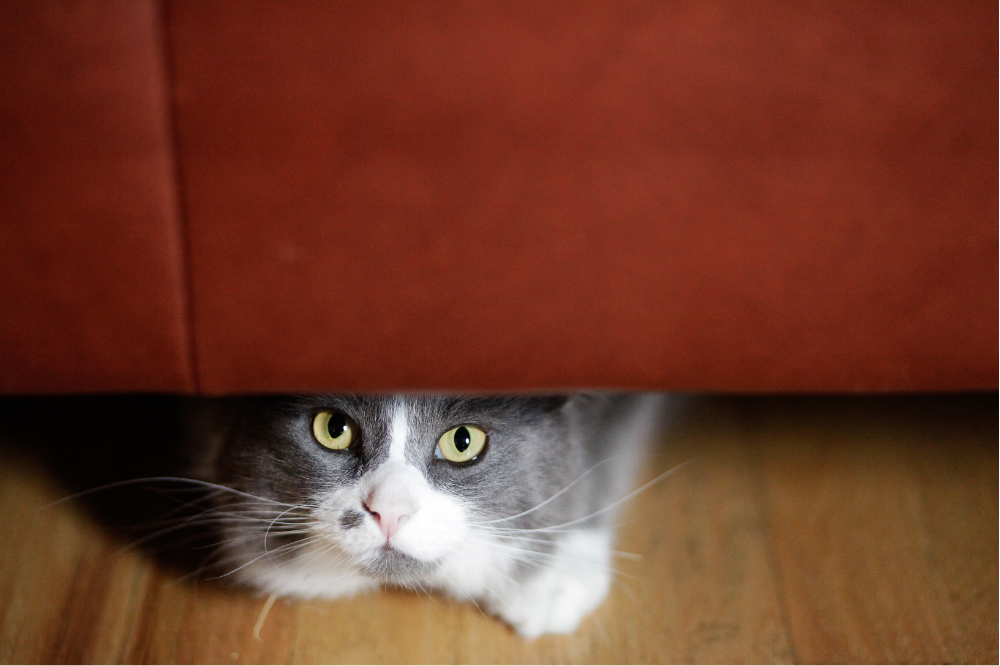A grey and white cat hiding under furniture.