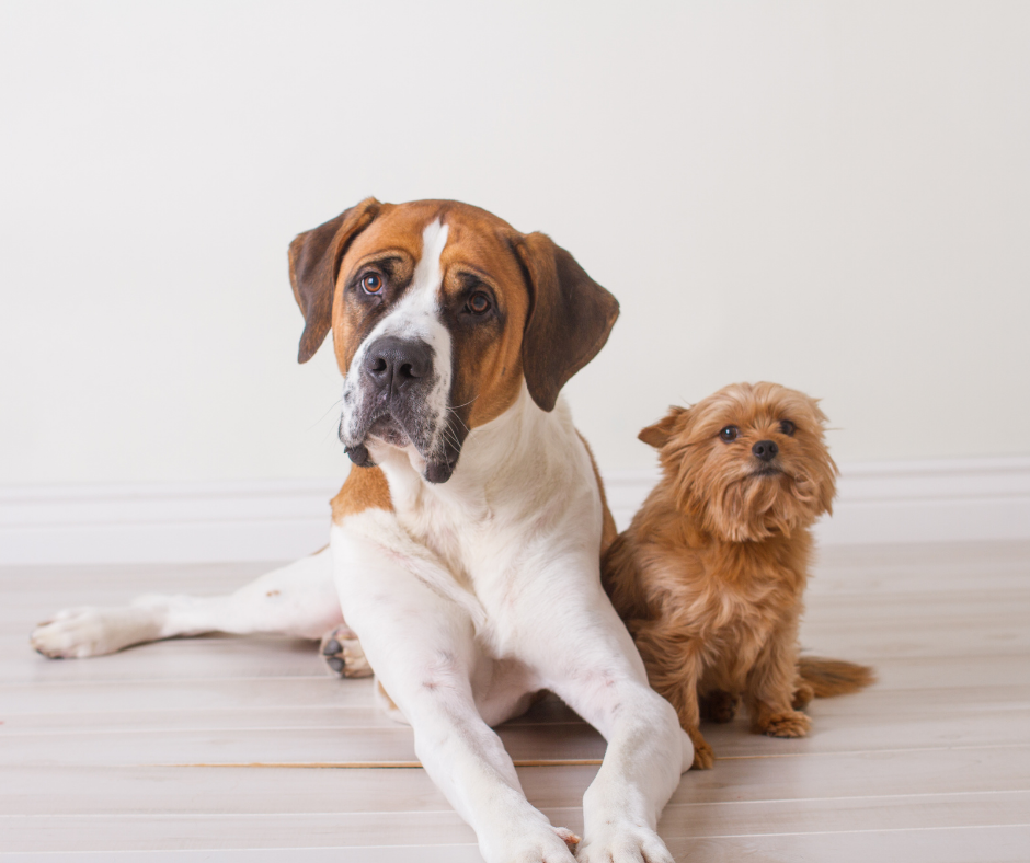 A large and small dog sit next to each other to pose for a photo.